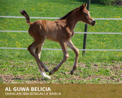 Al Guwa Belicia