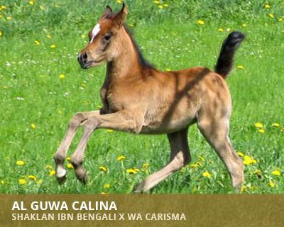 Al Guwa Calina