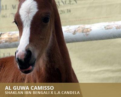 Al Guwa Camisso