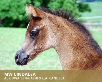 MW Cindalea