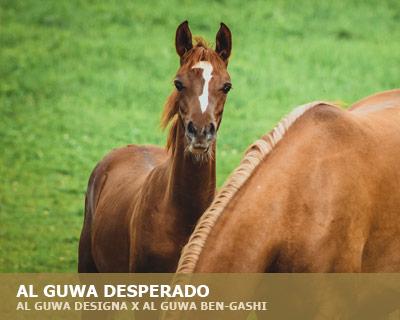 Al Guwa Desperado