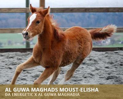 Al Guwa Maghads Moust Elisha