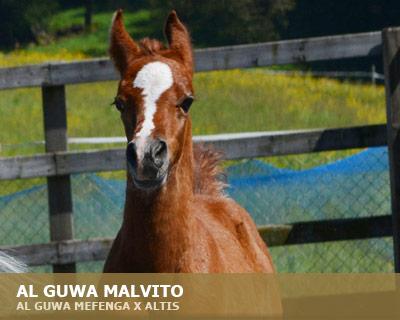 Al Guwa Malvito