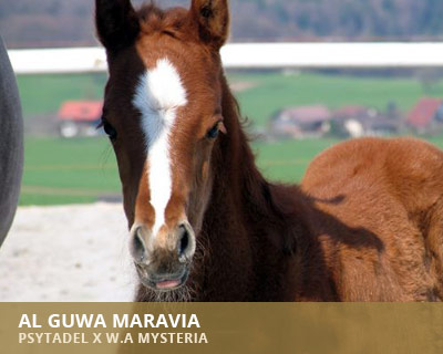 Al Guwa Maravia