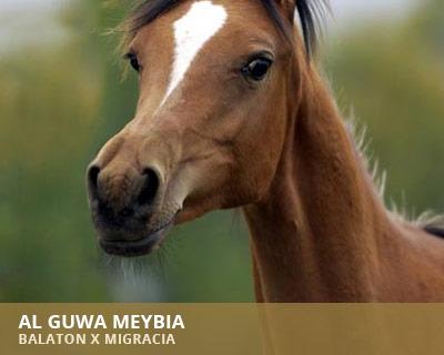 Al Guwa Meybia