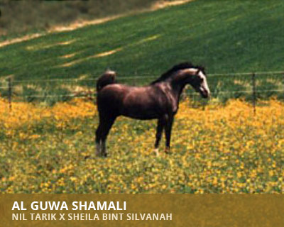 Al Guwa Shamali