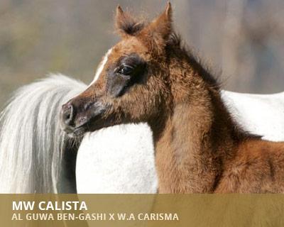 MW Calista