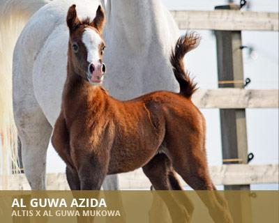 Al Guwa Azida