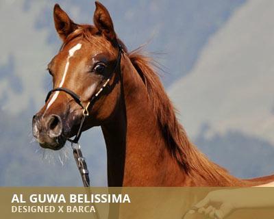 Al Guwa Belissima