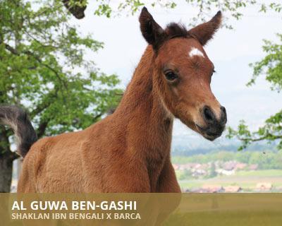 Al Guwa Ben-Gashi