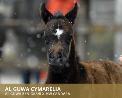 Al Guwa Cymarelia
