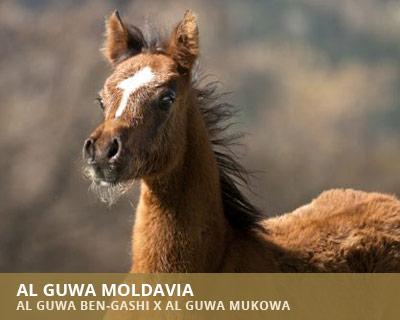 Al Guwa Moldavia
