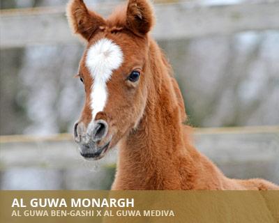 Al Guwa Monargh